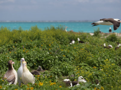 Albatross Birds At  Northwest  Hawaiian  Islands  National  Monu