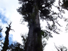 Alerce (Fitzroya) Tree In The Park
