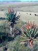 Aloe Ferox On The R61 Route