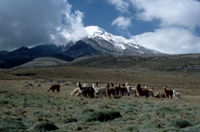 Alpacas In Front Of Chimborazo
