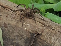 Amazon Spider