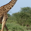 Ambo Giraffe