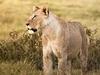 Amboseli NP Lioness Kenya