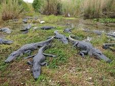 American Alligators From Everglades National Park Anhinga Trail FL