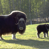 A Musk Ox Cow And Calf At The Large Animal Research Station At UAF