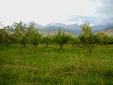 Apple Orchard - Kyrgyzstan