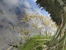 Aquatic Plants @ Lake Matheson - Tai Poutini National Park NZ