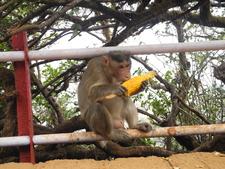 Arthur's Seat Monkey Lunch - Mahabaleshwar - Maharashtra - India