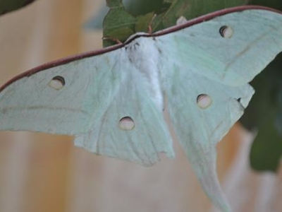 Asian Luna Moth