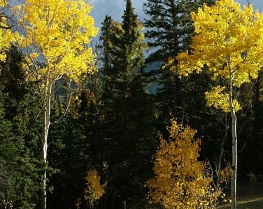 Aspen And Pine Boulder
