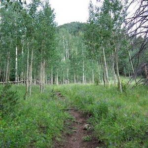 Aspens Along The Weatherford Trail