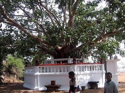 Avukana Bodhi Tree