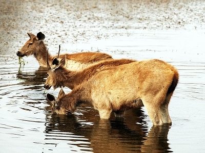 Axis Deer Quenching Thirst At Ranthambore