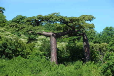 The Shiny Brown Bark Of Adansonia Suarezensis