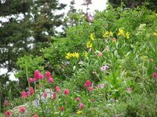 Albion Basin Wildflowers