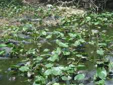 Alligator Infested Pool