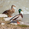 Mallard Wild Duck