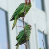 Feral Parrots Of Telegraph Hill