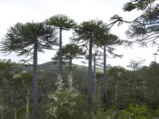 Araucaria Araucana Forest
