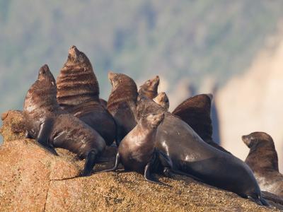 Brown Fur Seals On Hippolyte Rocks