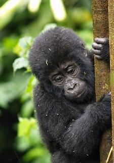 Baby Gorilla @ Bwindi UG