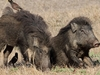 Bandhavgarh Wild Boars