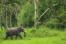 Bandipur Tusker