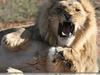 Ban Lion