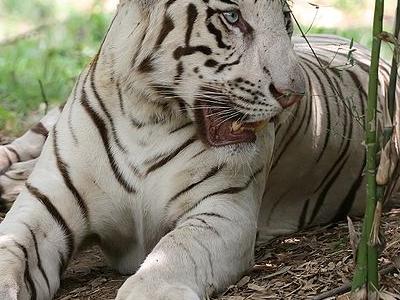 White Tiger - Bannerghatta National Park