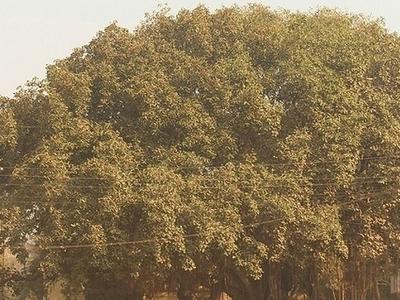Banyan Tree At Parnaka