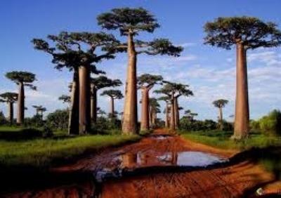 Baobabs 01