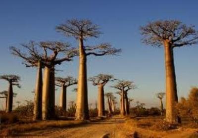 Baobabs 02