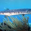 Barracuda Laban