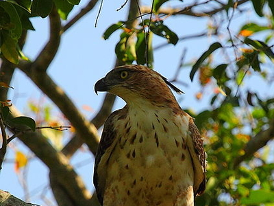 Beautiful Bird (Mountain Hawk Eagle) In Habarana - Sri Lanka.