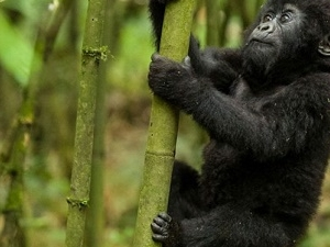 Gorilla Tracking And Lake Bunyonyi Adventure Photos