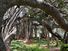 Big Banyan Tree At Ramohalli