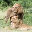 Big Cat , Kruger National Park