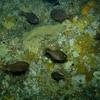 Big Eye Fish @ Poor Knights Dive Site NZ