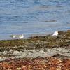 Birds Along West Fjords Coastline - Iceland