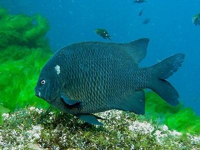 Black Angelfish @ Poor Knights NZ Diving Site