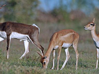 Blackbuck Antelope, PCWBS Flagship Species
