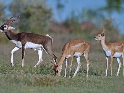 Bluebuck Male & Female Deer