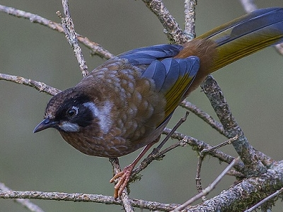 Black-Faced Laughingthrush @ Dzuluk In Sikkim