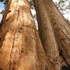 Black Mountain Sequoia Grove The Wishbone Tree