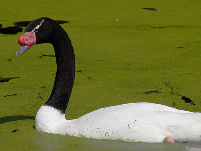 Black-necked Swan At The Centre