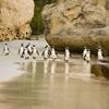 Boulders Beach Penguins SA Cape Point