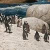 Boulders Beach SA Penguin Assembly