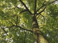 Boyd Big Área de Conservação de árvore