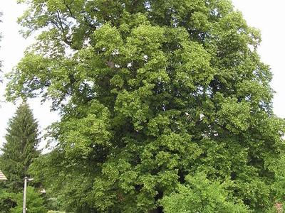 Brethren Linden-tree In Kunvald