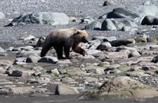 Brown Bear Walking The Beach In Chinitna Bay.